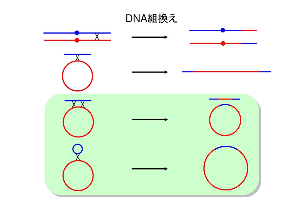 DNA組換え