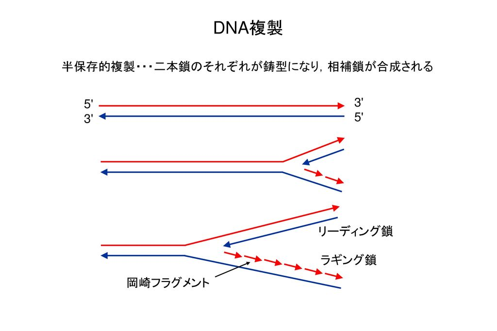 DNA複製 半保存的複製・・・二本鎖のそれぞれが鋳型になり,相補鎖が合成される 3 5 5 3 リーディング鎖 ラギング鎖