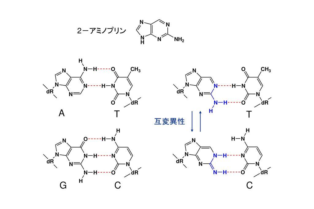2-アミノプリン A T T 互変異性 G C C