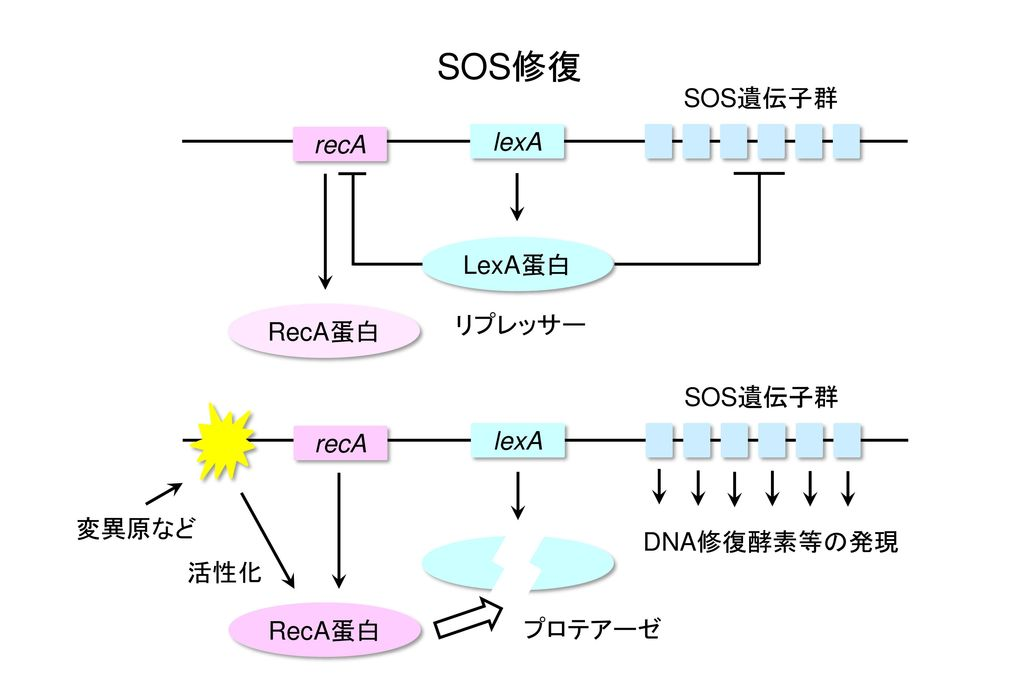 SOS修復 SOS遺伝子群 recA lexA LexA蛋白 リプレッサー RecA蛋白 SOS遺伝子群 recA lexA 変異原など