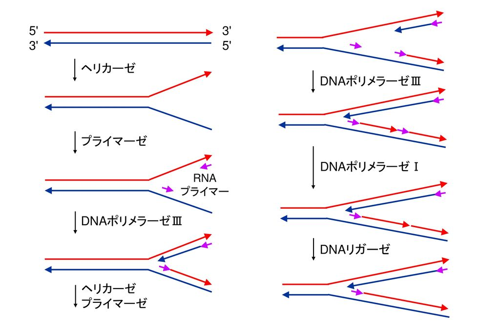 5 3 3 5 ヘリカーゼ DNAポリメラーゼⅢ プライマーゼ DNAポリメラーゼⅠ DNAポリメラーゼⅢ DNAリガーゼ