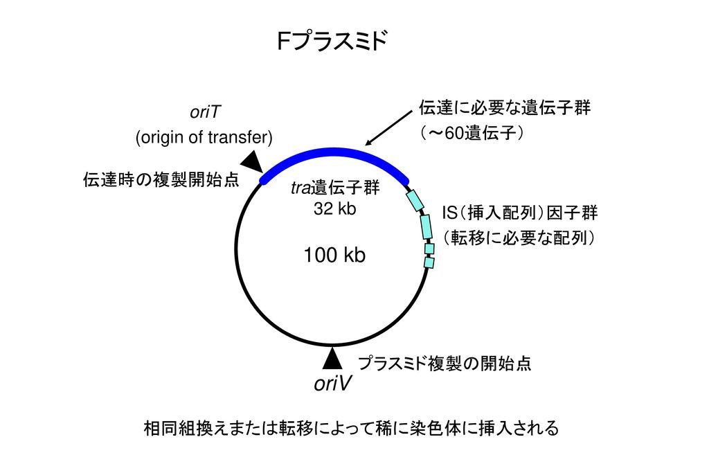 Fプラスミド 100 kb oriV 伝達に必要な遺伝子群 oriT (~60遺伝子) (origin of transfer)