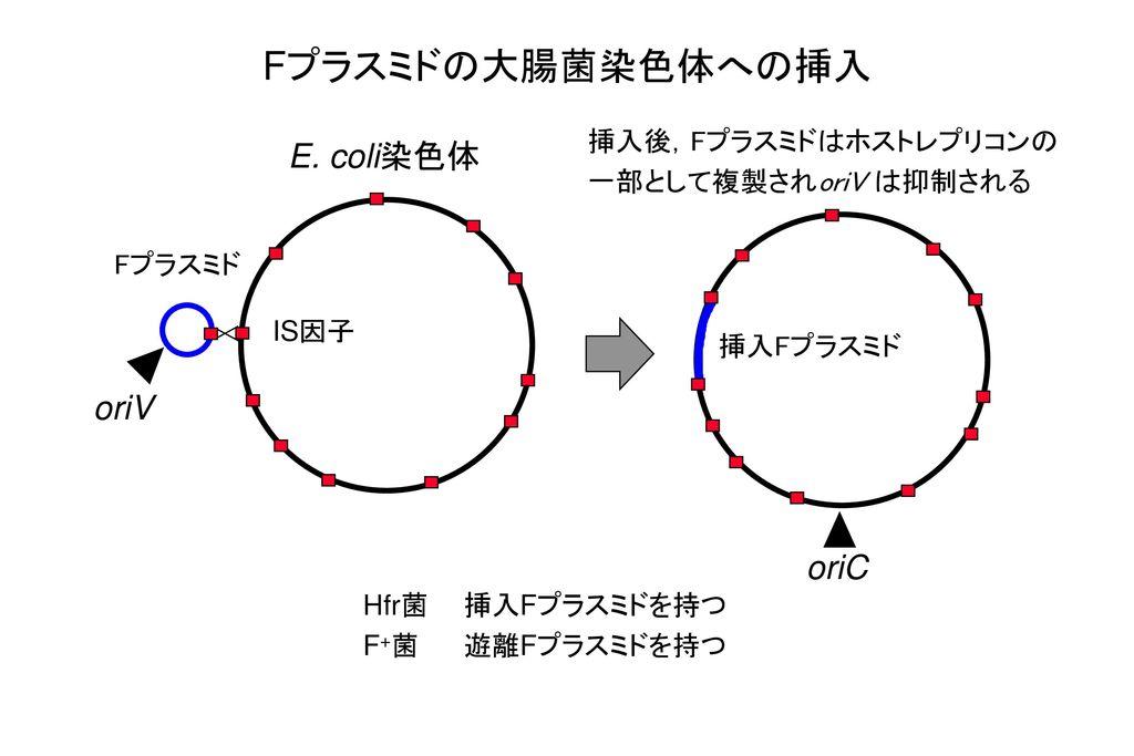 Fプラスミドの大腸菌染色体への挿入 E. coli染色体 oriV oriC