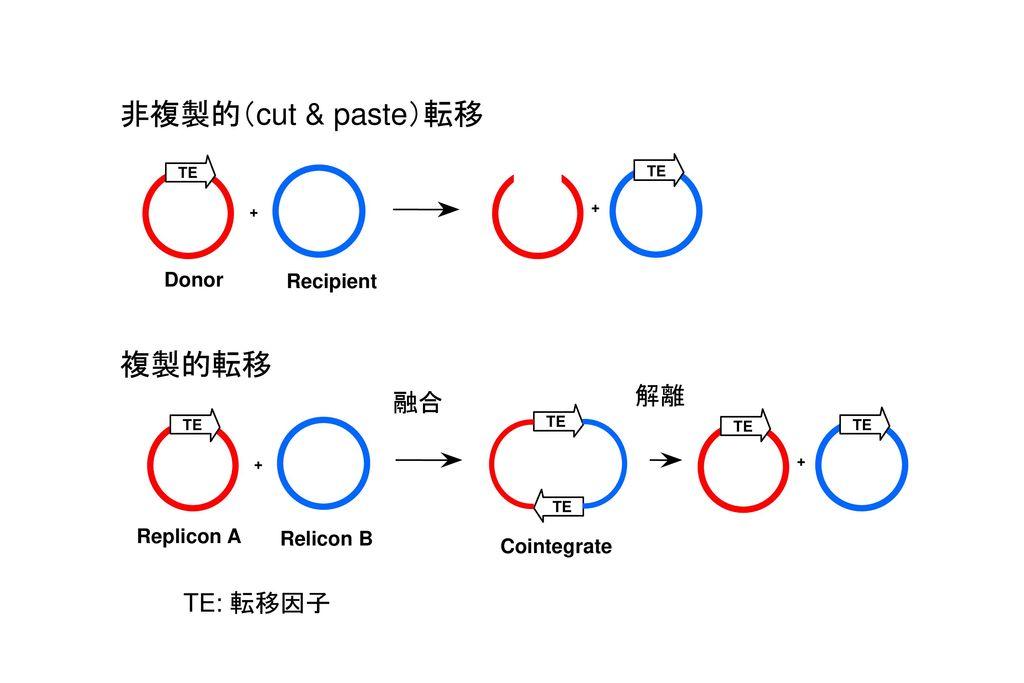 非複製的(cut & paste)転移 複製的転移 解離 融合 TE: 転移因子 Donor Recipient Replicon A