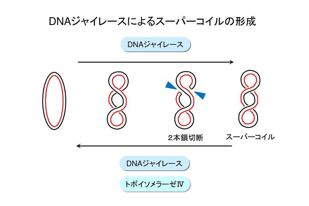 DNAジャイレースによるスーパーコイルの形成