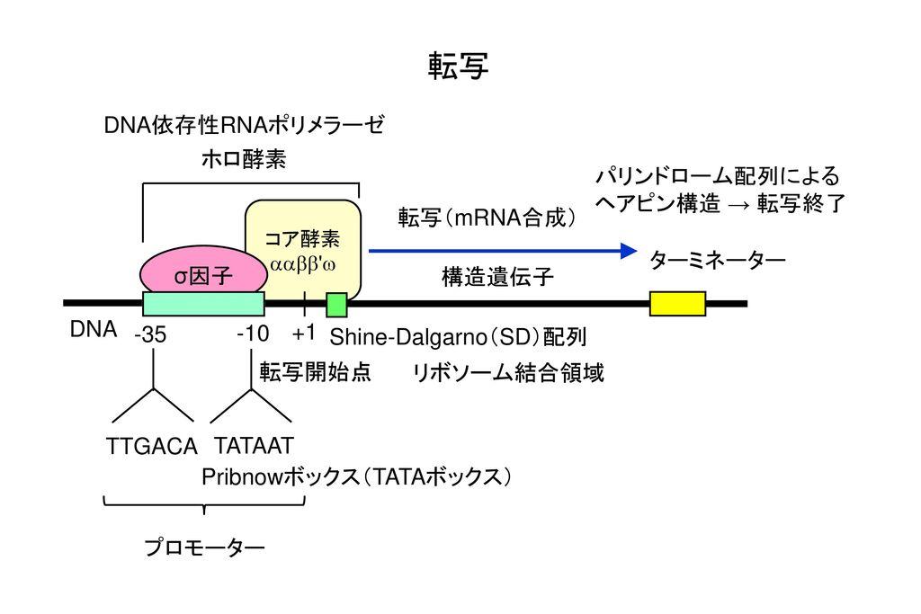Pribnowボックス(TATAボックス)