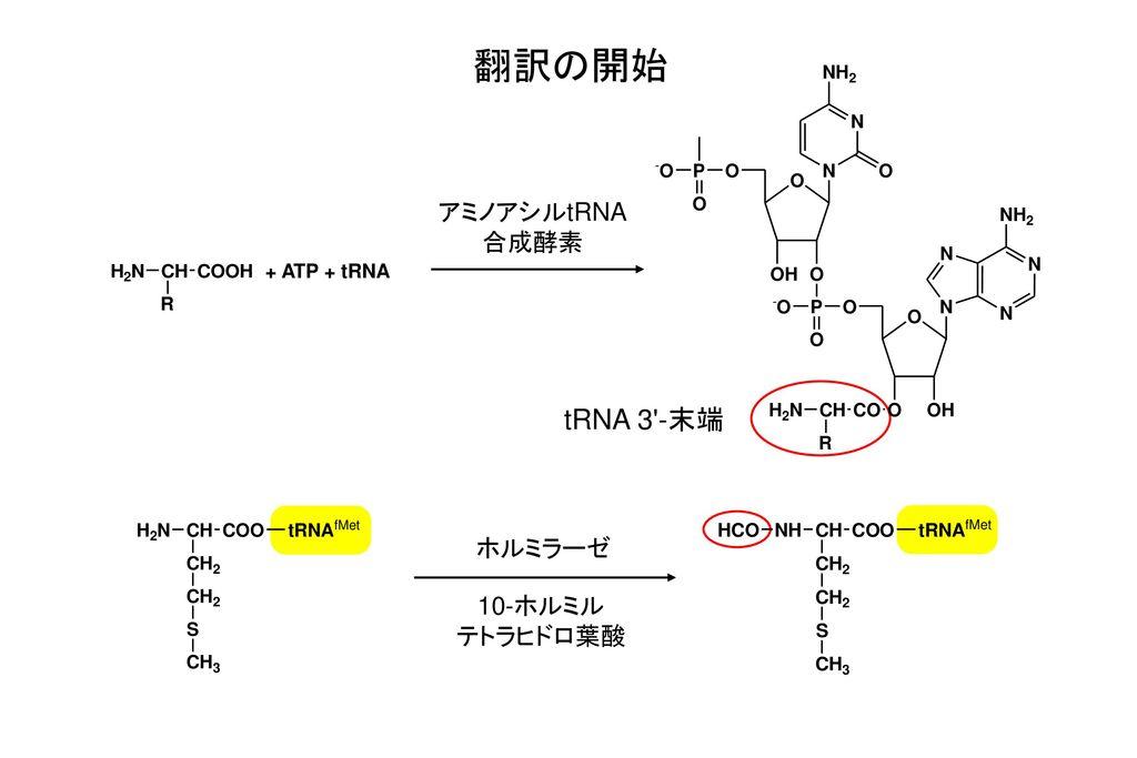 翻訳の開始 アミノアシルtRNA 合成酵素 + ATP + tRNA tRNA 3 -末端 ホルミラーゼ 10-ホルミル テトラヒドロ葉酸