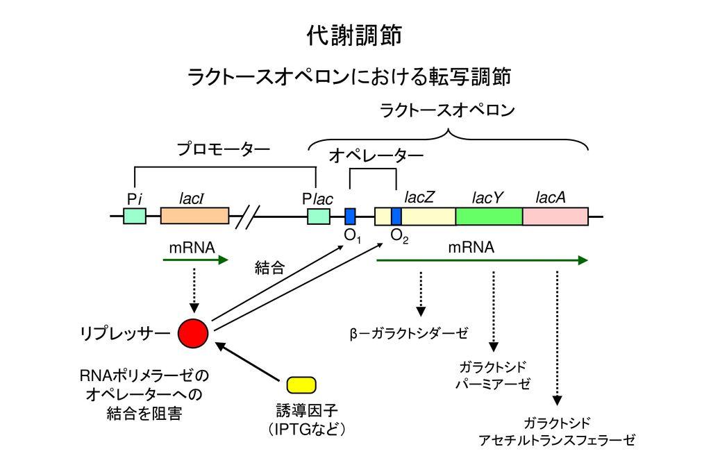 代謝調節 ラクトースオペロンにおける転写調節 ラクトースオペロン プロモーター オペレーター リプレッサー Pi lacI Plac