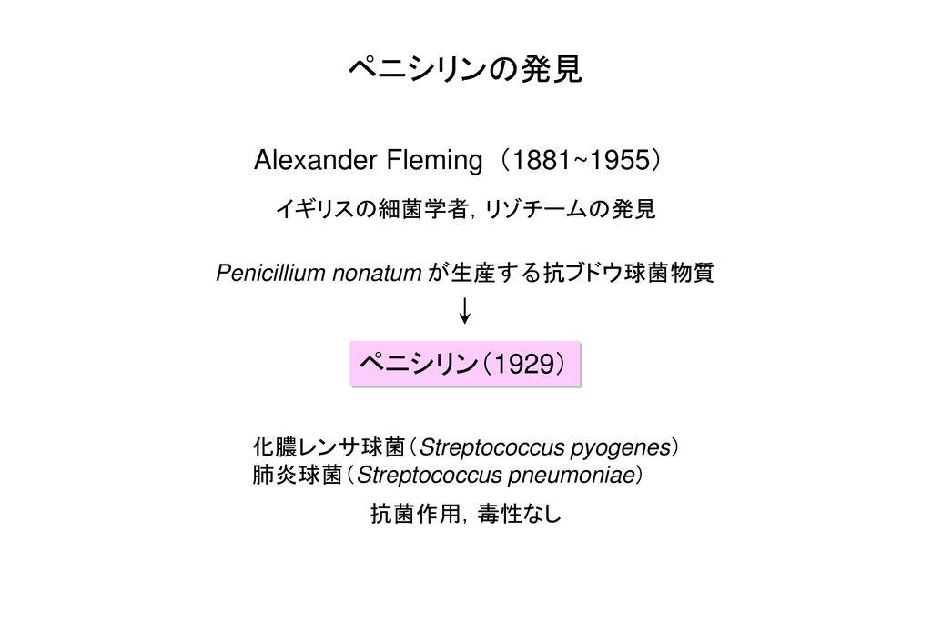 ペニシリンの発見 Alexander Fleming(1881~1955) ペニシリン(1929) イギリスの細菌学者,リゾチームの発見