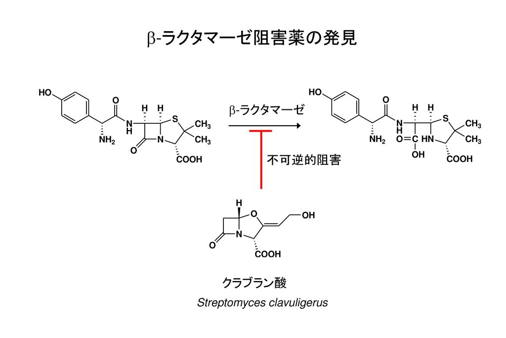 b-ラクタマーゼ阻害薬の発見 b-ラクタマーゼ 不可逆的阻害 クラブラン酸 Streptomyces clavuligerus