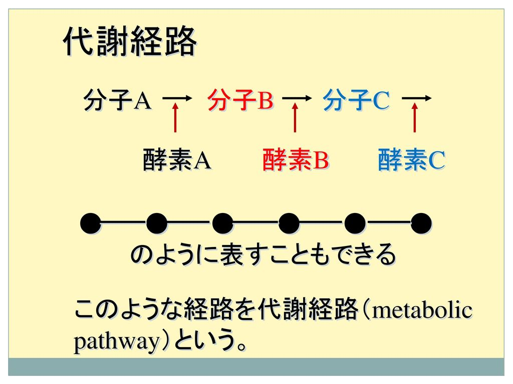 代謝経路 分子A 分子B 分子C 酵素A 酵素B 酵素C ● ● ● ● ● ● のように表すこともできる