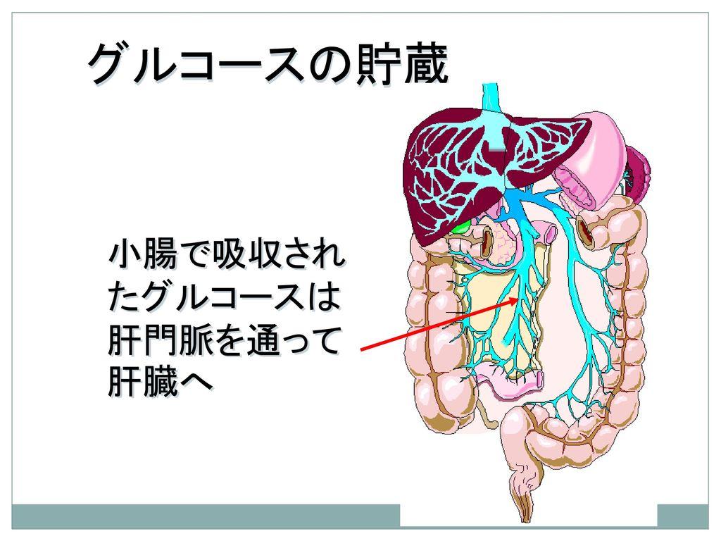グルコースの貯蔵 小腸で吸収されたグルコースは肝門脈を通って肝臓へ