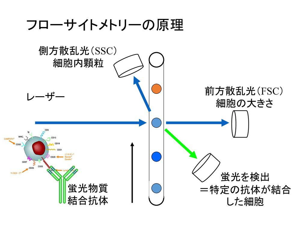 フローサイトメトリーの原理 側方散乱光(SSC) 細胞内顆粒 前方散乱光(FSC) レーザー 細胞の大きさ 蛍光を検出