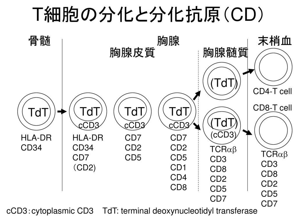 T細胞の分化と分化抗原(CD) 骨髄 胸腺 末梢血 胸腺皮質 胸腺髄質 (TdT) TdT TdT TdT TdT (TdT)