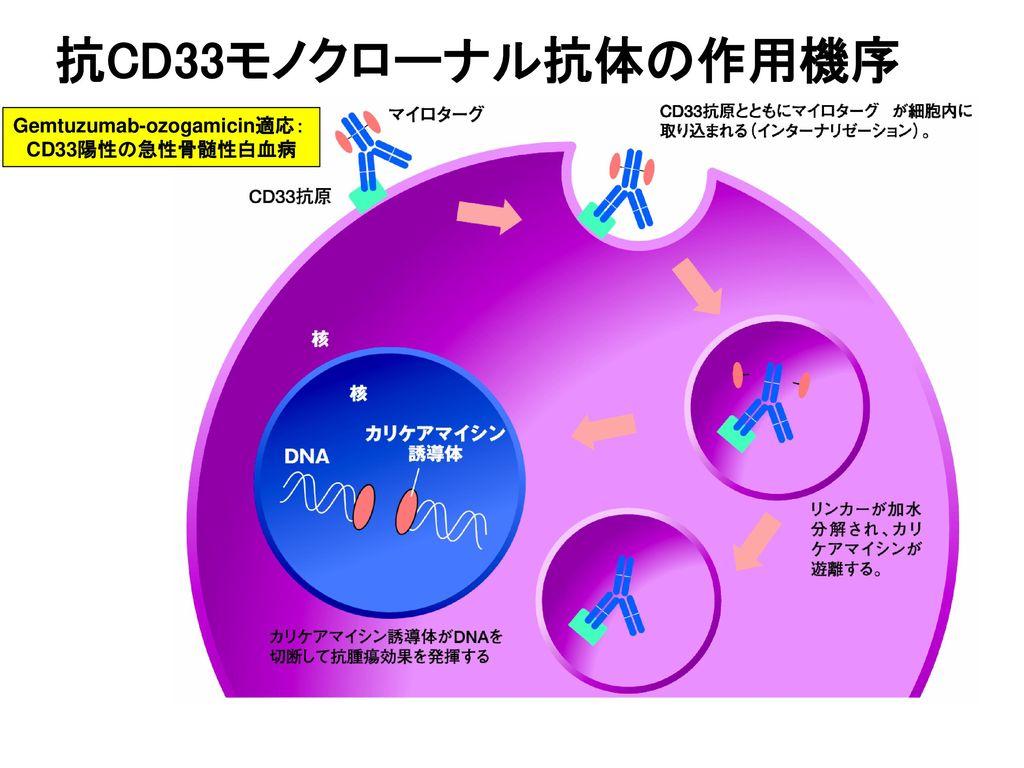抗CD33モノクローナル抗体の作用機序 Gemtuzumab-ozogamicin適応: CD33陽性の急性骨髄性白血病