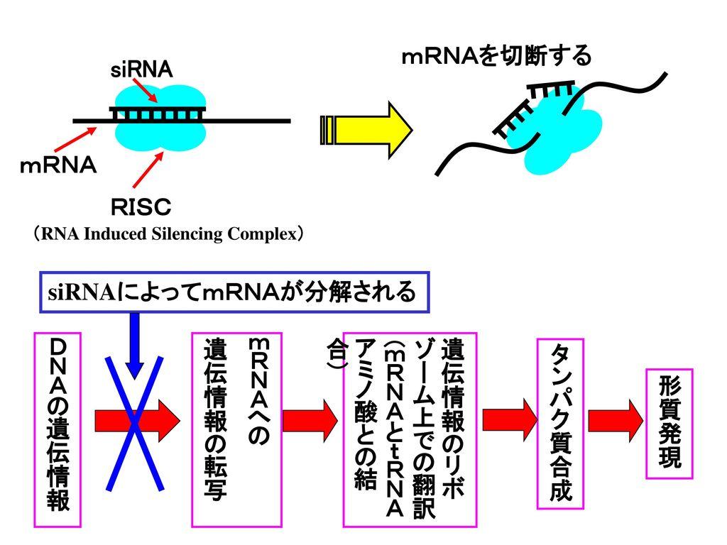 RNA i (RNA interference).