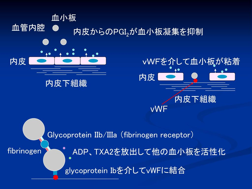 血小板 血管内腔. 内皮からのPGI2が血小板凝集を抑制. 内皮. 内皮下組織. 内皮. vWF. vWFを介して血小板が粘着. 内皮下組織. fibrinogen. Glycoprotein IIb/IIIa (fibrinogen receptor)