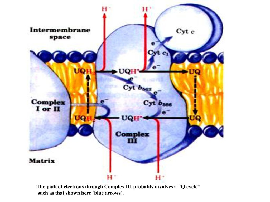 The path of electrons through Complex III probably involves a Q cycle