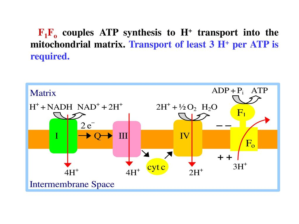 F1Fo couples ATP synthesis to H+ transport into the mitochondrial matrix.