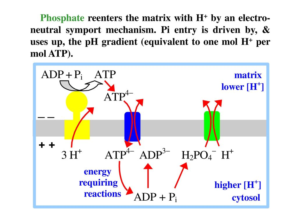 Phosphate reenters the matrix with H+ by an electro-neutral symport mechanism.