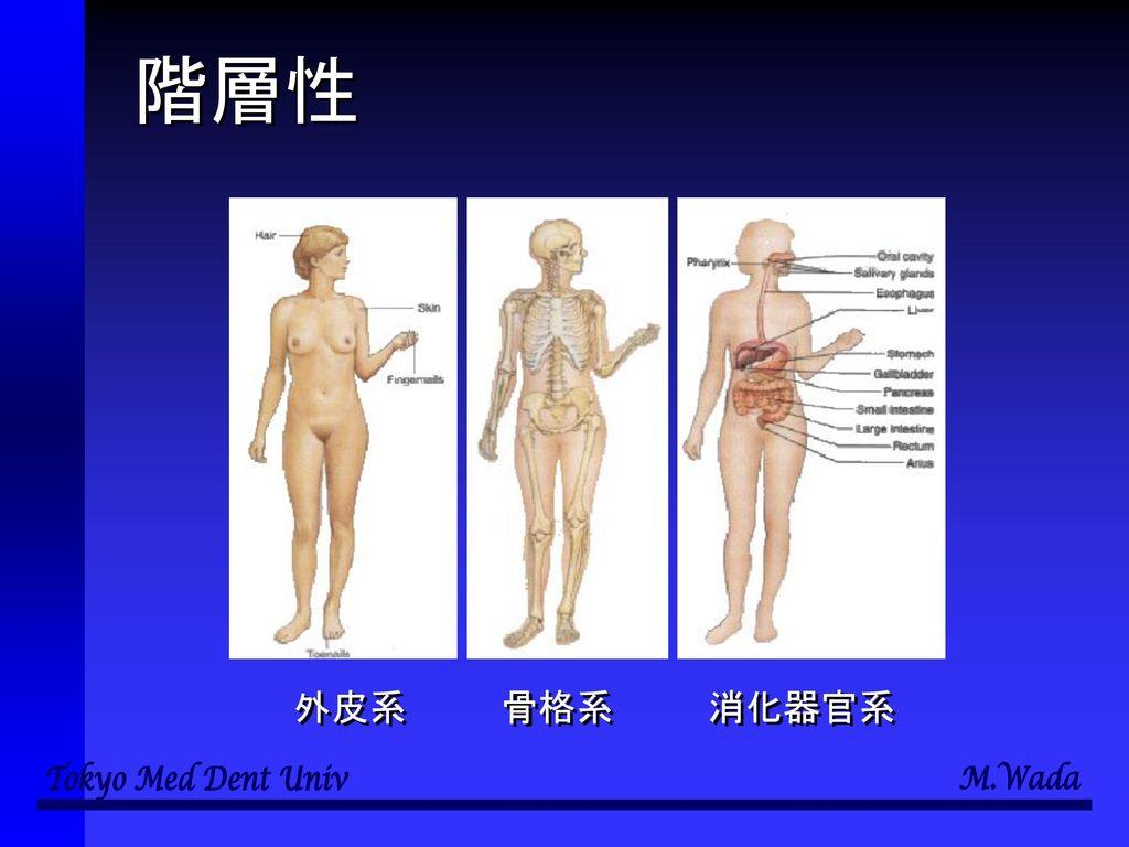 階層性 外皮系 骨格系 消化器官系