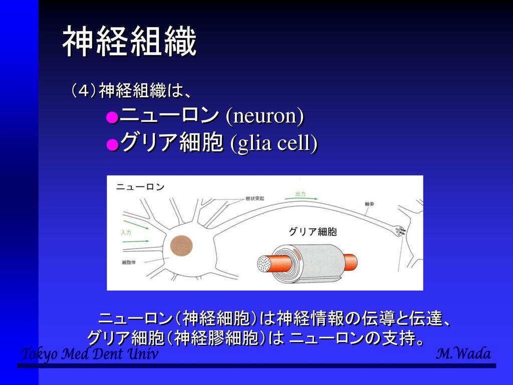 神経組織 (4)神経組織は、 ●ニューロン (neuron) ●グリア細胞 (glia cell)