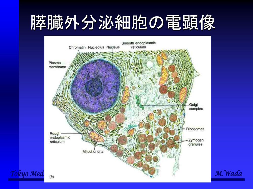 膵臓外分泌細胞の電顕像