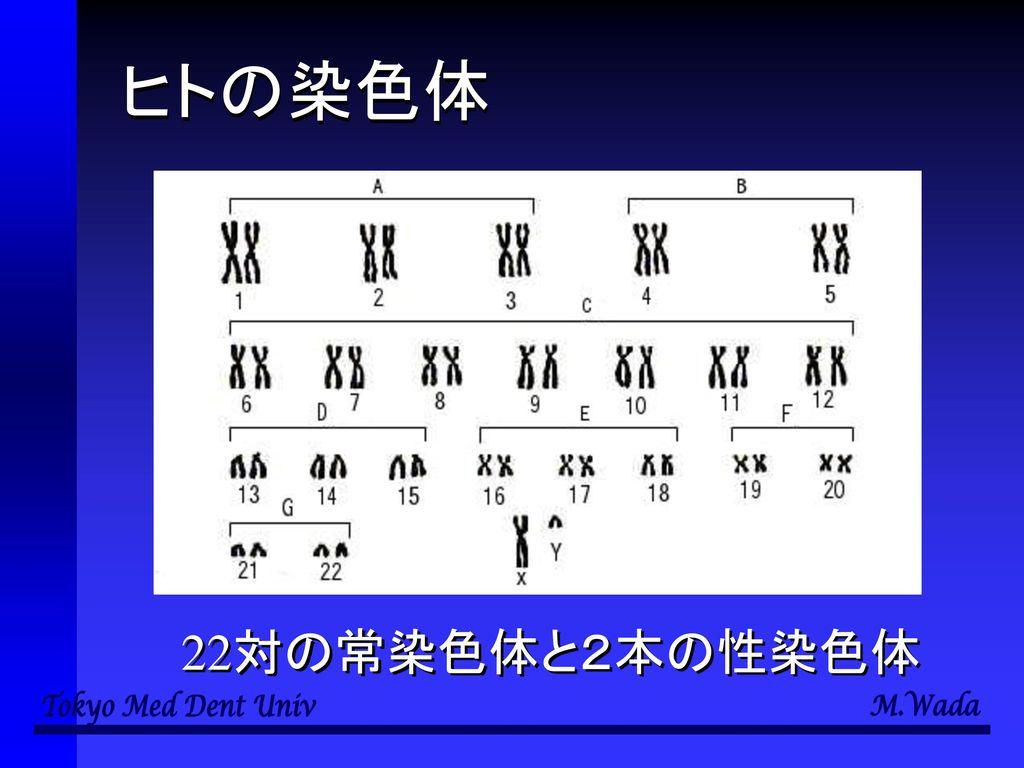 ヒトの染色体 22対の常染色体と2本の性染色体