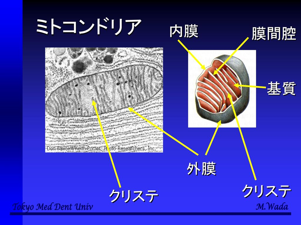 ミトコンドリア 内膜 膜間腔 基質 外膜 クリステ クリステ