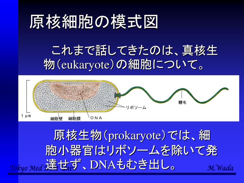 原核細胞の模式図 これまで話してきたのは、真核生物(eukaryote)の細胞について。