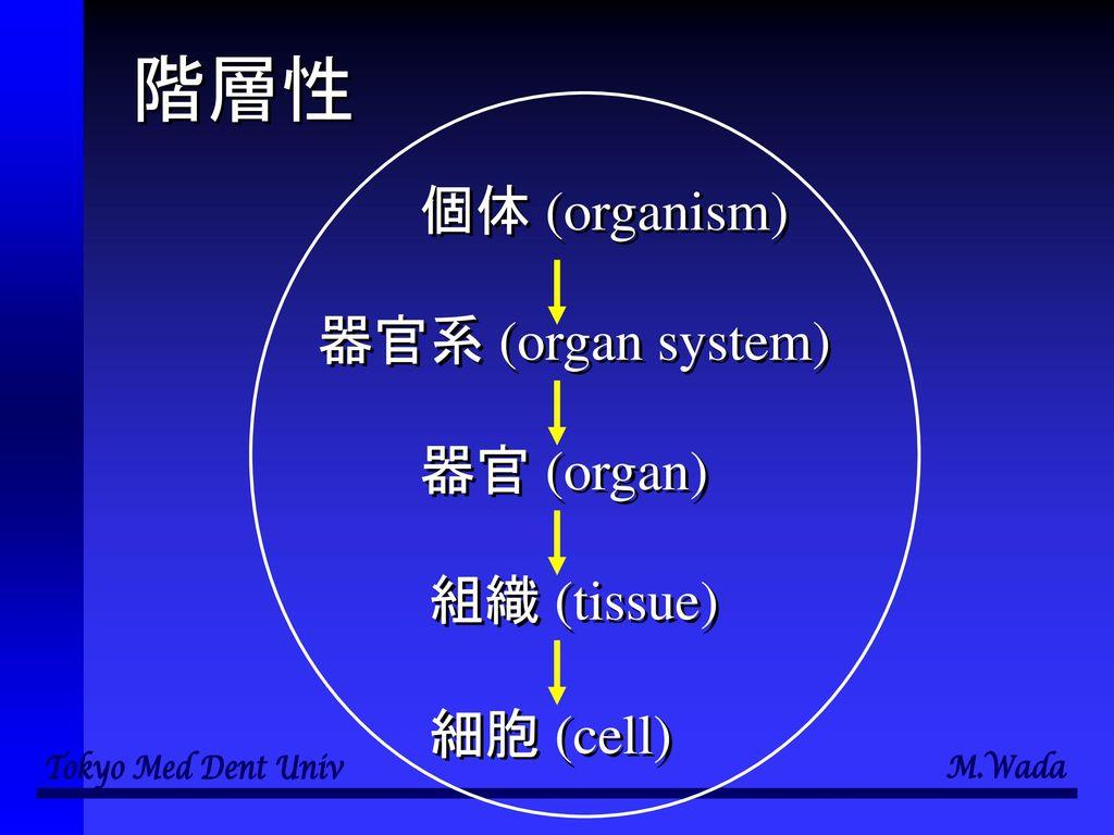 階層性 個体 (organism) 器官系 (organ system) 器官 (organ) 組織 (tissue) 細胞 (cell)