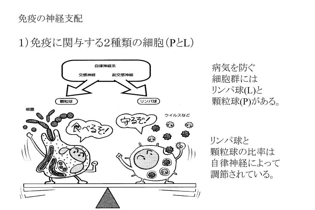 1)免疫に関与する2種類の細胞(PとL) 免疫の神経支配 病気を防ぐ 細胞群には リンパ球(L)と 顆粒球(P)がある。 リンパ球と