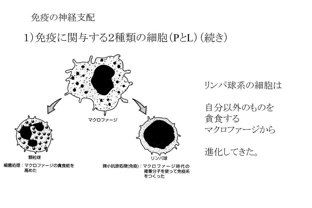 1)免疫に関与する2種類の細胞(PとL)(続き)