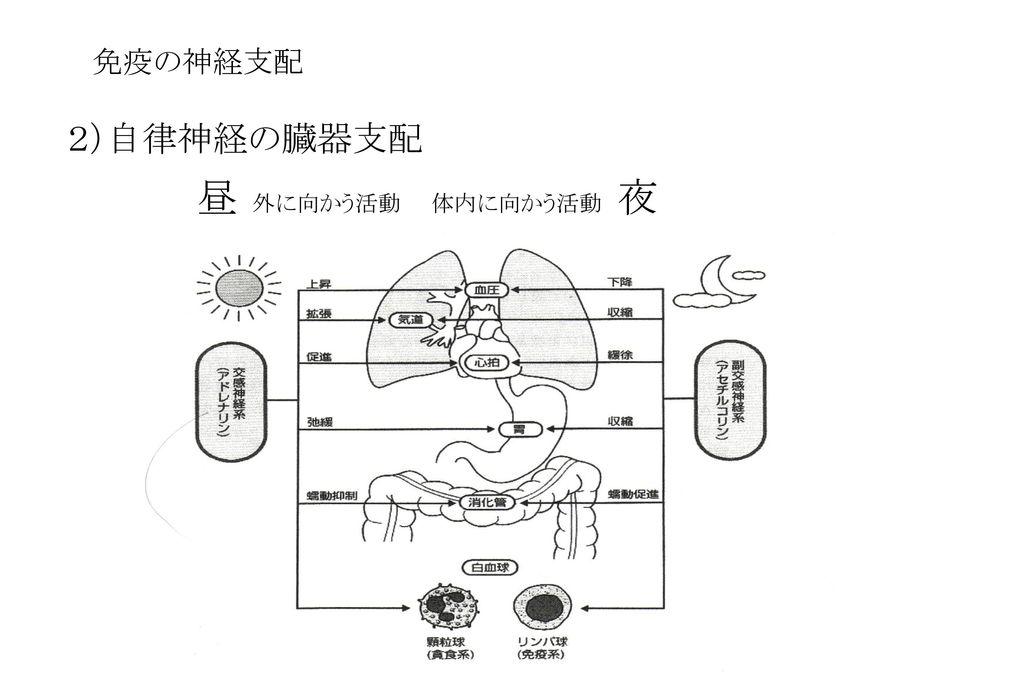 免疫の神経支配 2)自律神経の臓器支配 昼 外に向かう活動 体内に向かう活動 夜