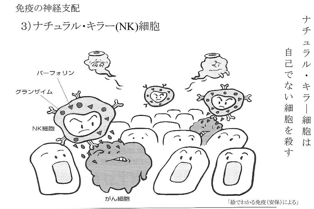 3)ナチュラル・キラー(NK)細胞 免疫の神経支配 ナ チ ュ ラ ル ・ 自 キ 己 で | な 細 い 胞 細 は 胞 を 殺 す
