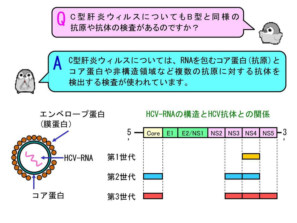 HCV-RNAの構造とHCV抗体との関係