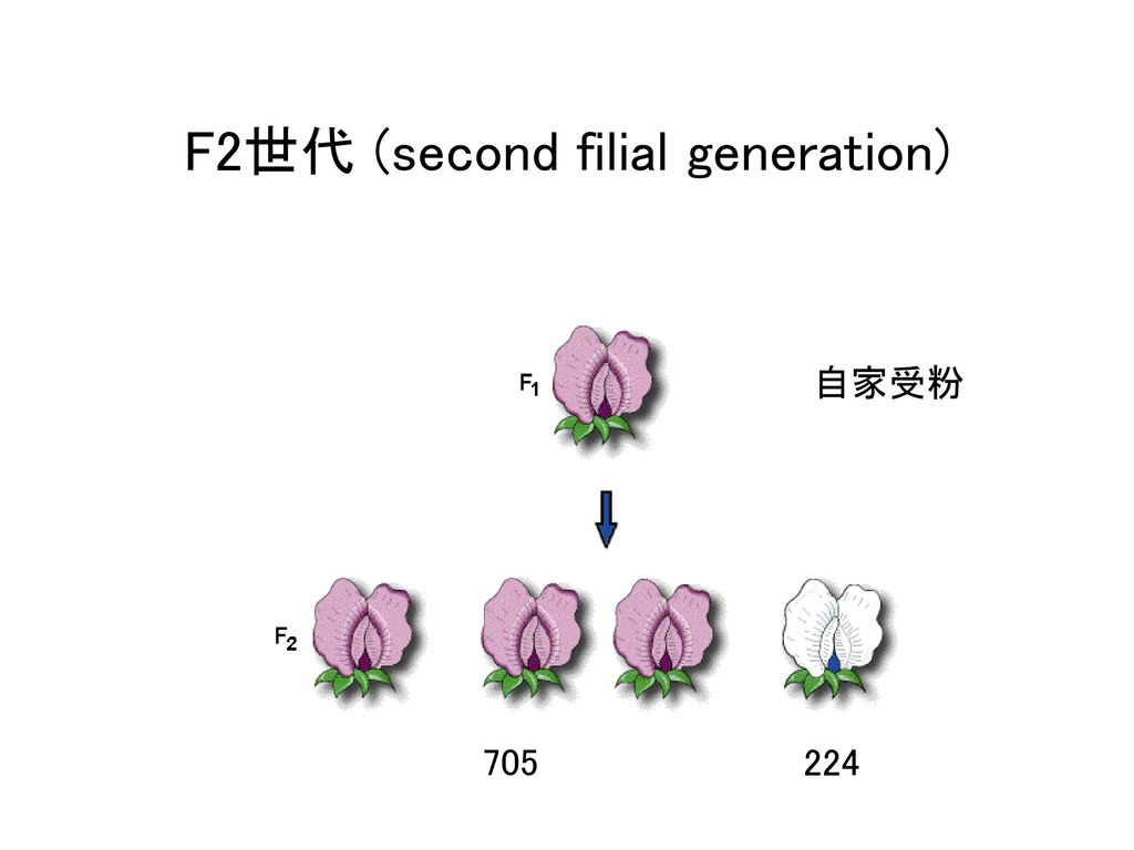 F2世代 (second filial generation)