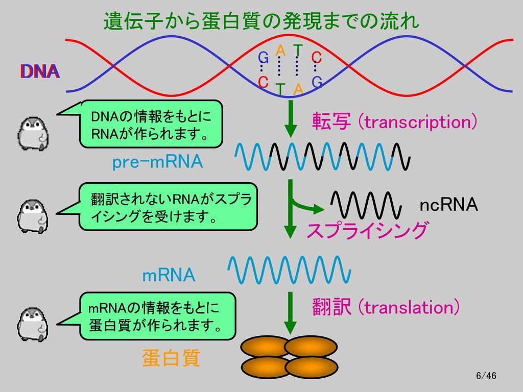 遺伝子から蛋白質の発現までの流れ DNA DNA 転写 (transcription) pre-mRNA ncRNA スプライシング