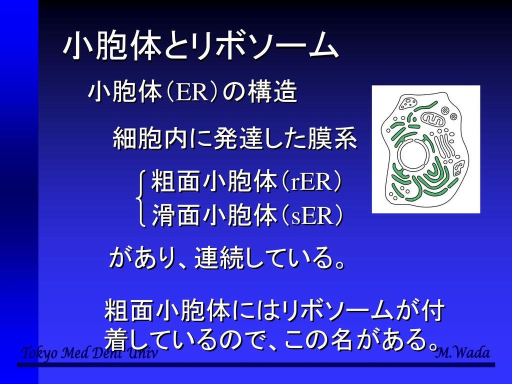 小胞体とリボソーム 小胞体(ER)の構造 細胞内に発達した膜系 粗面小胞体(rER) 滑面小胞体(sER) があり、連続している。