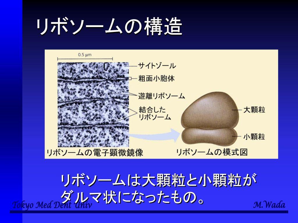 リボソームの構造 リボソームは大顆粒と小顆粒がダルマ状になったもの。