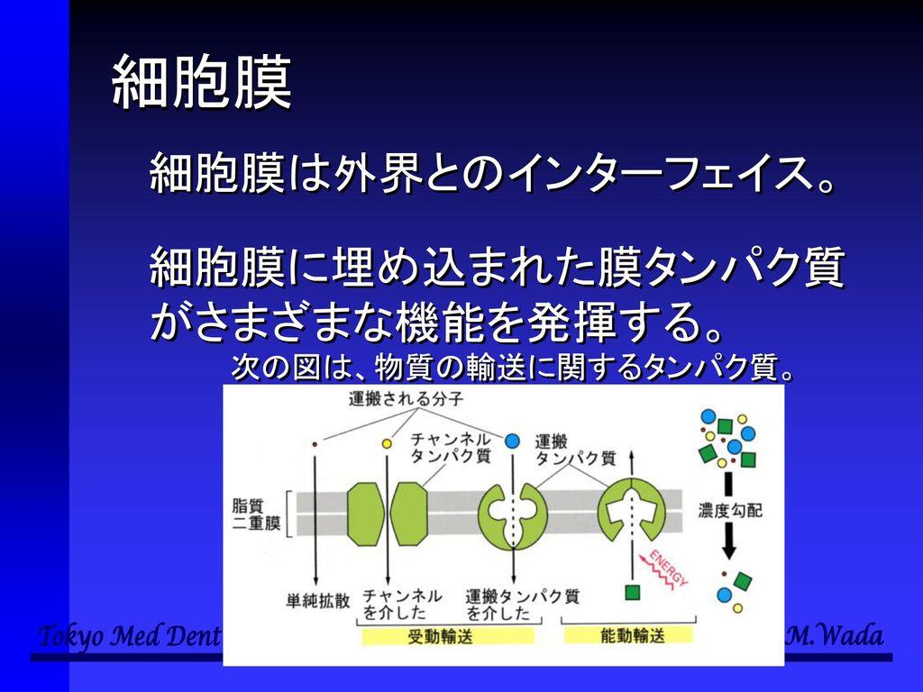 細胞膜 細胞膜は外界とのインターフェイス。 細胞膜に埋め込まれた膜タンパク質がさまざまな機能を発揮する。