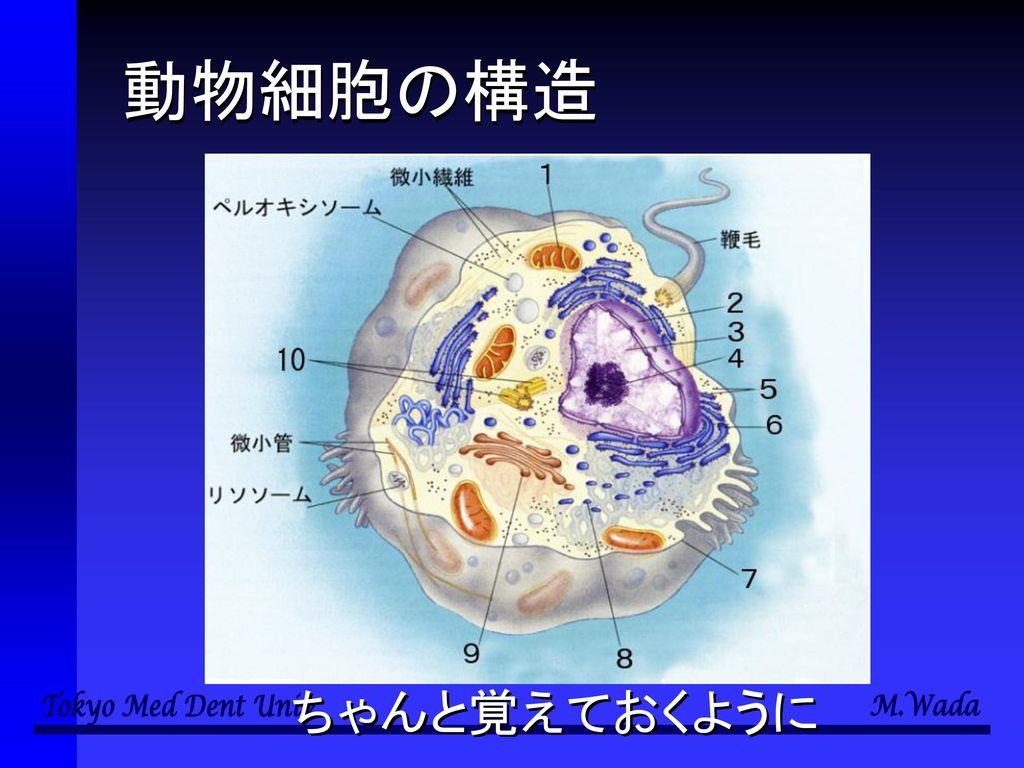 動物細胞の構造 ちゃんと覚えておくように