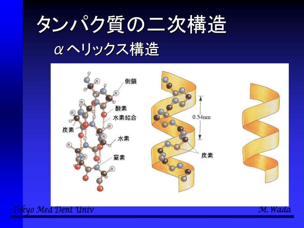 タンパク質の二次構造 αヘリックス構造