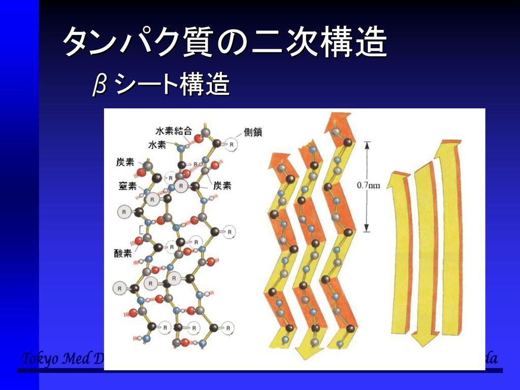 タンパク質の二次構造 βシート構造
