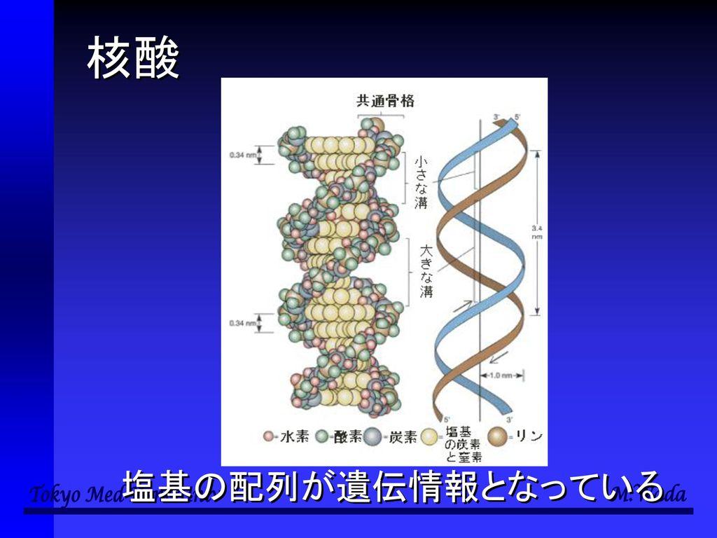 核酸 塩基の配列が遺伝情報となっている