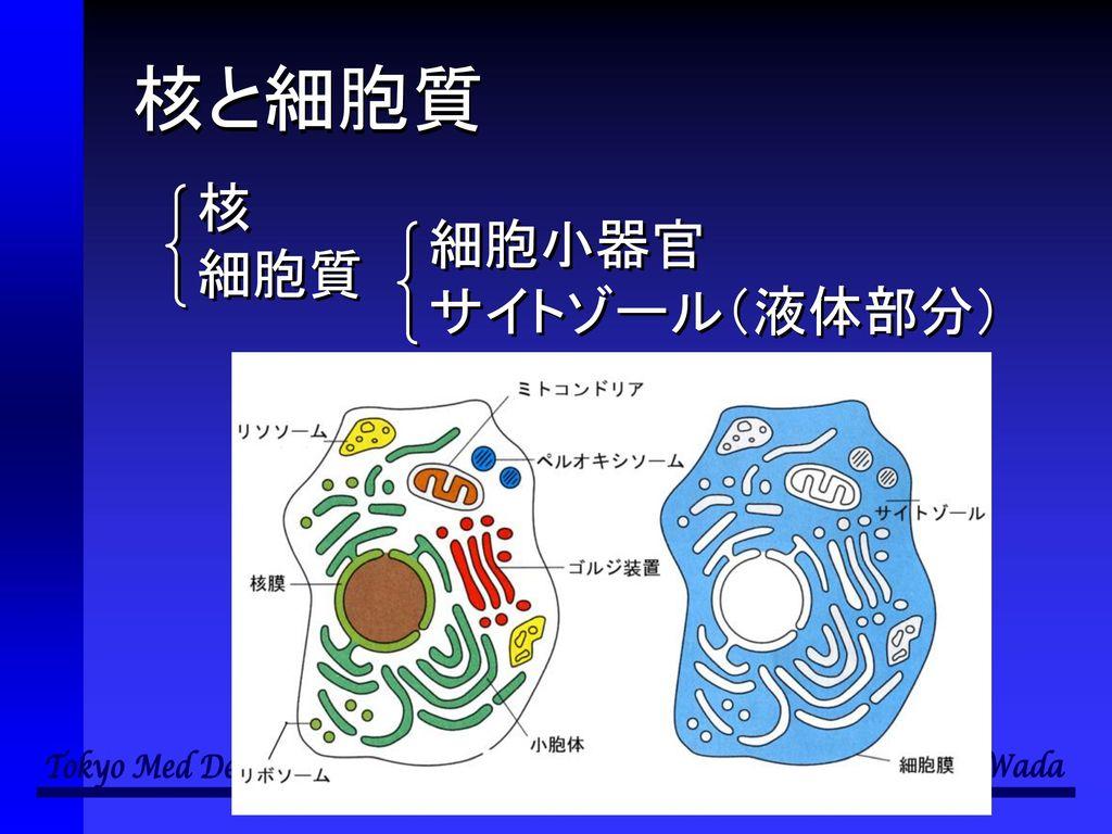 核と細胞質 核 細胞質 細胞小器官 サイトゾール(液体部分)