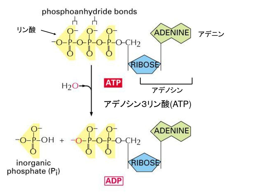 リン酸 アデニン アデノシン アデノシン3リン酸(ATP)