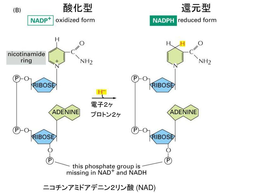 酸化型 還元型 電子2ヶ プロトン2ヶ ニコチンアミドアデニン2リン酸 (NAD)
