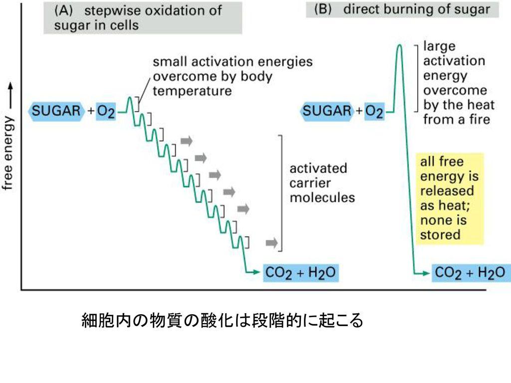 細胞内の物質の酸化は段階的に起こる
