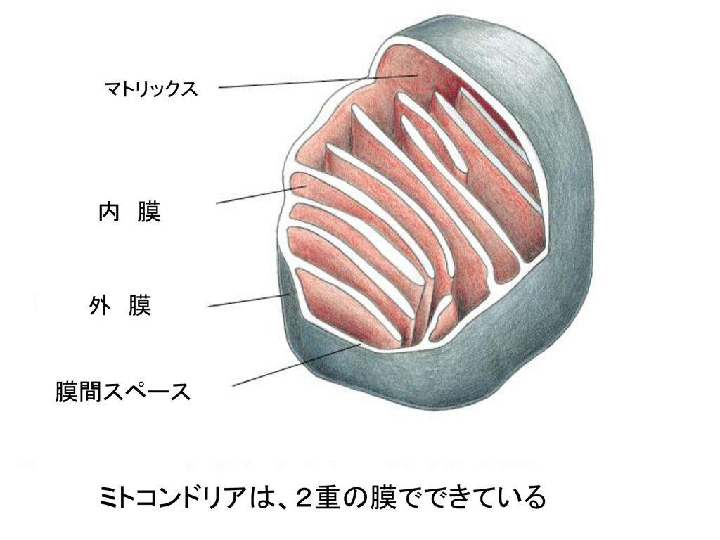 マトリックス 内 膜 外 膜 膜間スペース ミトコンドリアは、2重の膜でできている